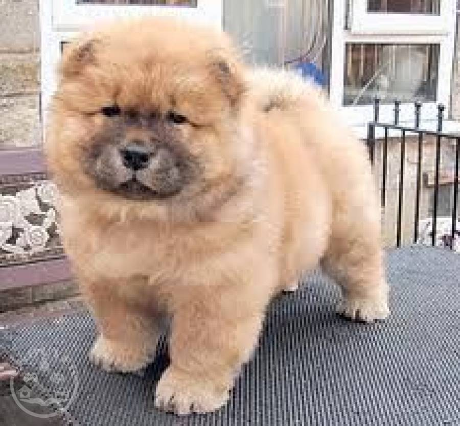 Two Chow Chow Puppies For Sale