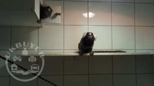 Pair of marmosets