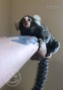 Female Marmoset Monkey for sale