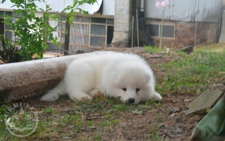 Very playful Samoyed Puppies For Sale