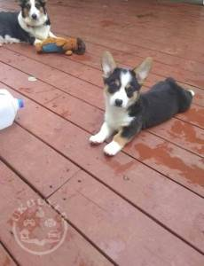 Stunning Welsh Corgi Pembroke puppies Ready