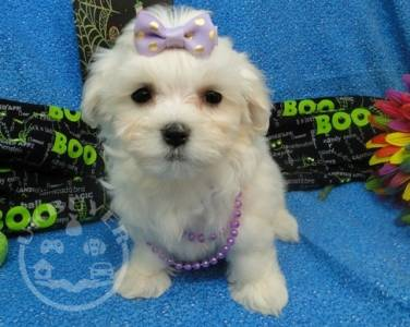 Gorgeous Kc Registered Maltese Puppies for sale