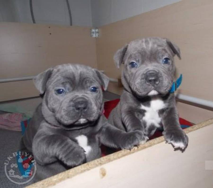RESPONSIBLE HOMES ONLY!!!Staffordshire Blue Terrier Puppies For Sale.