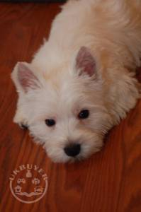 SUPER Beautiful KC West Highland White Terrier Pups For Sale.