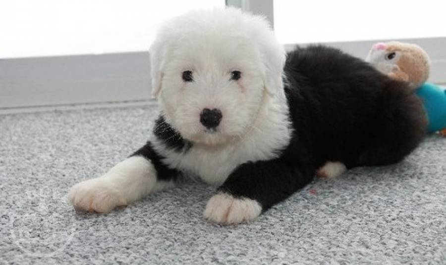 Wonderful Old English Sheepdog Puppies For Sale Dogs Bolton Uk Buyer Animals Classified Ads In Britain