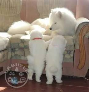 Stunning Samoyed Puppies Left Now