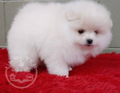 full pedigree Pomeranian puppy for sale