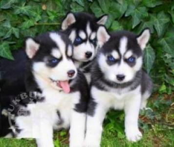 Free to good home male and female Siberian Husky