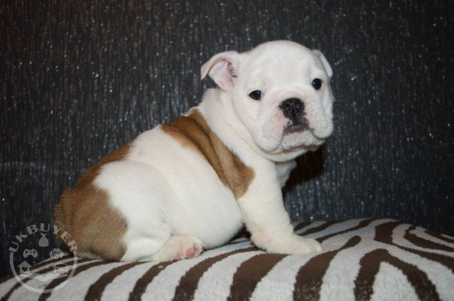 Quality english bulldog puppies for re-homing