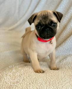 Quality Golden Golden pug puppies for sale