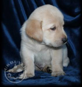 Quality Golden Golden retriever puppies for sale