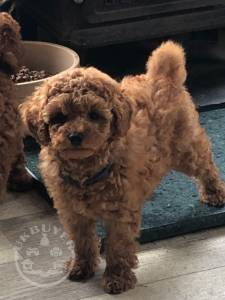 Male Female Poodle Puppies