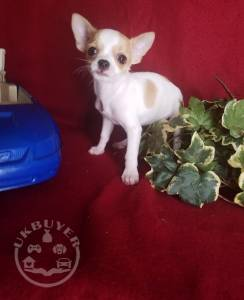 Quality Golden Chihuahua Puppies For Sale