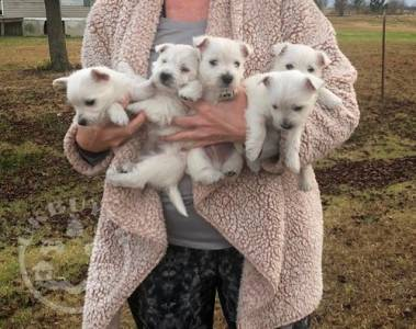 Quality Golden west highland terrier  puppies for sale
