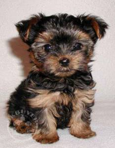 Healthy yorkshire terrier Puppies ready now