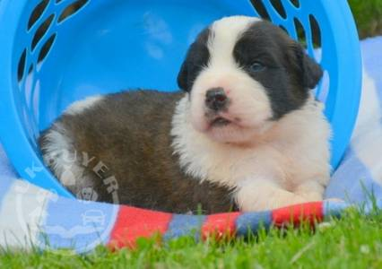 Quality Golden bernese mountain dog puppies for sale