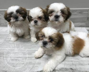 Healthy Golden shih tzu  Puppies ready now