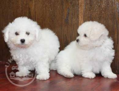 Healthy bichon frise   Puppies ready now