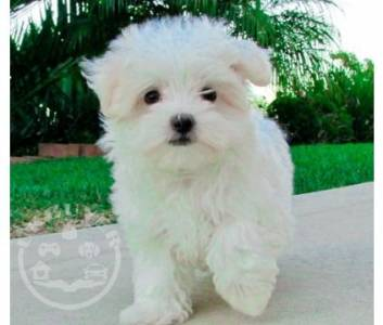 Healthy Golde maltese  Puppies ready now