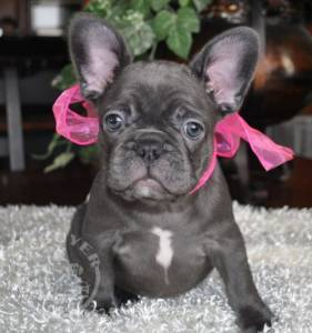Quality french bulldog puppies for re-homing