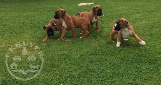 Healthy Golden boxer   Puppies ready now