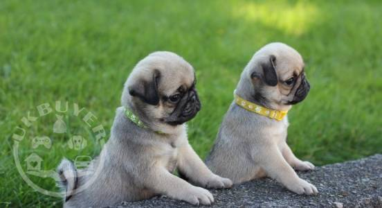 Healthy Golden pug  Puppies ready now