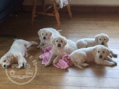 Healthy Golden retriever  Puppies ready now