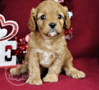 Quality cavapoo puppies for sale ready now