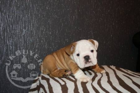 Quality  bulldog puppies for sale ready now