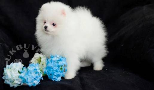 Healthy Teacup Pomeranian Puppies