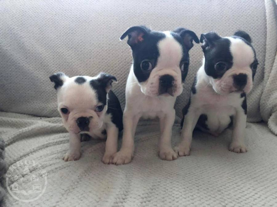 Healthy Golden boston terrier Puppies ready now