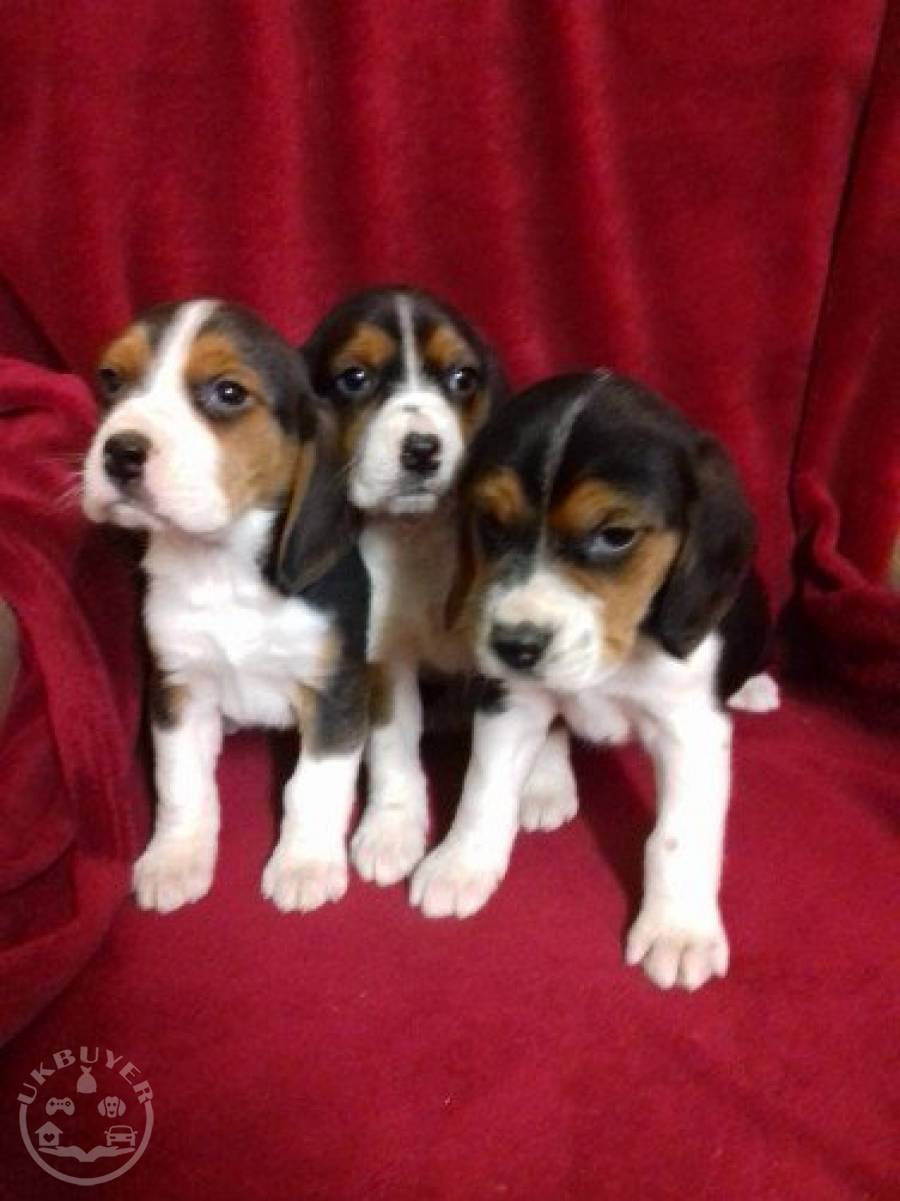 Quality Golden beagle  puppies for sale