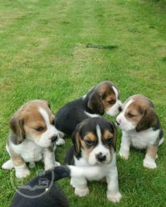 Stunning lovley good beagle for sale for a family home