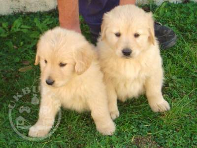 6 Beautiful Male Golden retreiver ready now