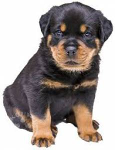 6 Beautiful Male Rottweiler  ready now