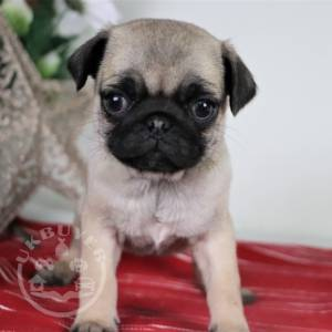 super dream pug puppies ready now