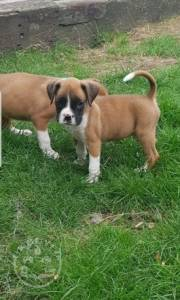 Wonderfully bred litter boxer ready now