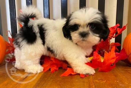 Extensively Health  sweet shih tzu ready