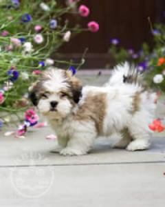 6 Beautiful Male and female lhasa aspso  ready now
