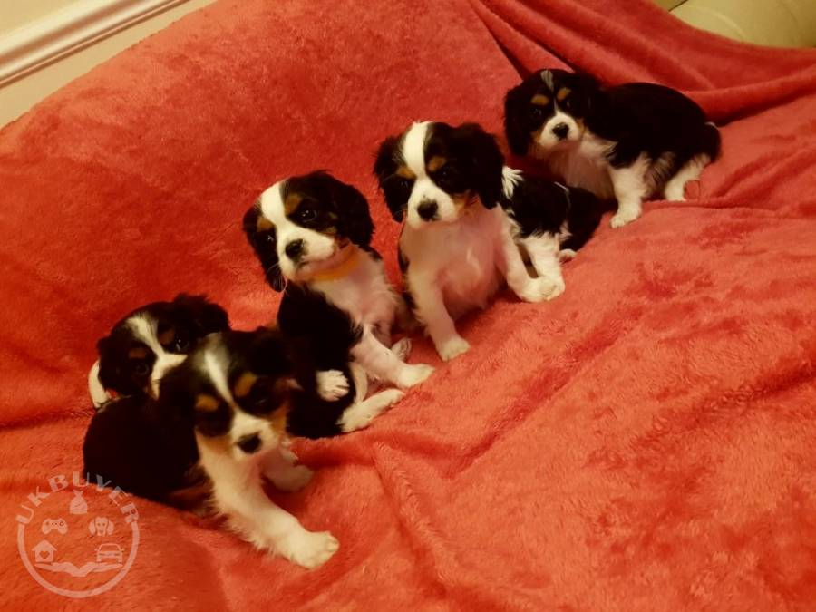 Extensively Health cavalier king charle ready