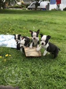 6 Beautiful Male and femal boston terrier ready now