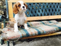 Pedigree Cavalier King Charles