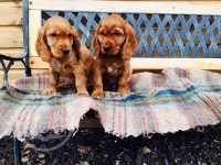 Pedigree Cocker Spaniel Pups