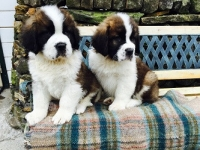 Pedigree Saint Bernards Pups